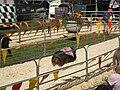Pig racing at 2008 San Mateo County Fair 7.JPG