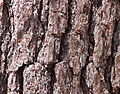 Pine tree bark at Council Cup.JPG