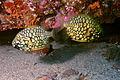 Pineapplefish-Cleidopus gloriamaris (11258708466).jpg