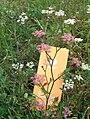 Pink Caraway Carum carvi H5255 VI08 C.jpg