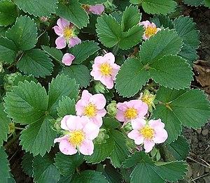 Fragaria × Comarum hybrids - Image: Pink Panda 1 ies