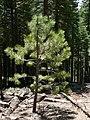 Pinus benthamiana 08314.JPG