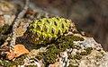 Pinus halepensis, Forêt domaniale de Sète, cone 01.jpg
