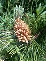Pinus mugo mugo 02.jpg