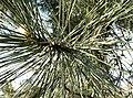 Pinus nigra0.jpg
