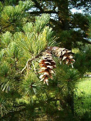 Pinus peuce ConesLeaves BotGardBln0906.JPG