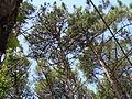 Pinus pinaster.001 - A Pobra do Caramiñal.JPG