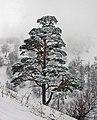 Pinus sylvestris hamata Bakuriani1.jpg