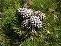 Pinus uncinata3.JPG