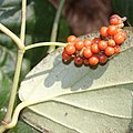 Piper kadsura (fruits s12).jpg