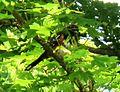 Pipilo maculatus, Seattle 02.jpg