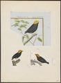 Pipra erythrocephala - 1700-1880 - Print - Iconographia Zoologica - Special Collections University of Amsterdam - UBA01 IZ16600211.tif