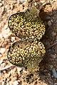 Pisolithus arhizus (Scop.) Rauschert 913349.jpg