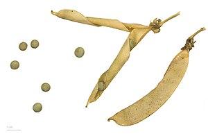 Pea - Pisum sativum - MHNT