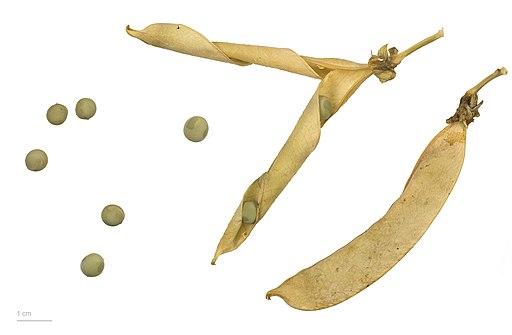 Pisum sativum MHNT.BOT.2010.12.9