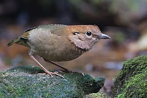 Pitta - The rusty-naped pitta was once placed in the genus Pitta but is now in Hydrornis.
