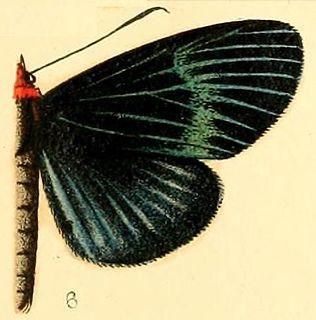 <i>Massaga</i> genus of insects