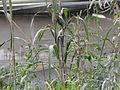 Planta de maíz.JPG