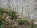 Plantago lanceolata + Plantago coronopus sl2.jpg