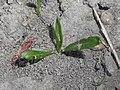 Plantago lanceolata 2018-05-04 0750.jpg