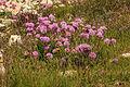Plants from Drei Zinnen 08.jpg