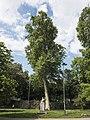 Platanus x acerifolia.jpg