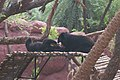 Playful Sun Bears at Hyderabad Zoo.jpg