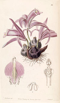 Pleione praecox (as Coelogyne wallichiana) - Edwards vol 26 (NS 3) pl 24 (1840)