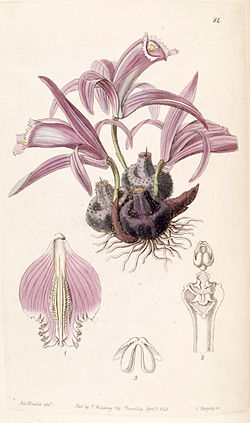 Pleione praecox (as Coelogyne wallichiana) - Edwards vol 26 (NS 3) pl 24 (1840).jpg