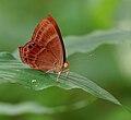 Plum Judy (Abisara echerius)- Female in Talakona, AP W IMG 8167.jpg