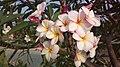 Plumeria (common name Frangipani) - Flickr - Silver Blu3.jpg