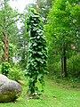 Podlaskie - Suprasl - Kopna Gora - Arboretum - Aristolochia macrophylla.JPG