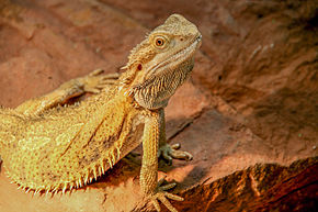 Description de l'image Pogona vitticeps (ok).JPG.