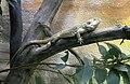 Pogona vitticeps Dvur zoo 1.jpg