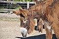 Poitou Donkey 2861.jpg