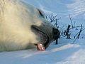 Polarbär 4 2004-11-17.jpg