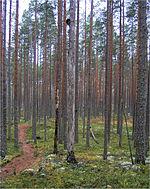 Polku mannikössä pyhä-häkki2.jpg