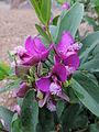 Polygala myrtifolia kz3.JPG