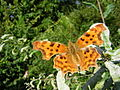 Polygonia c-album on oak leaves.jpg