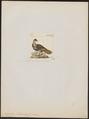 Polyplectron hardwickii - 1820-1860 - Print - Iconographia Zoologica - Special Collections University of Amsterdam - UBA01 IZ16900189.tif
