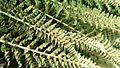 Polystichum lemmonii (Shasta Fern) sori - Flickr - brewbooks.jpg