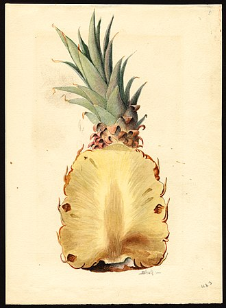 J. Marion Shull - Watercolor of pineapple (Ananas comosus) by J. Marion Shull, 1919.