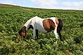 Pony Grazing - geograph.org.uk - 1433663.jpg
