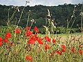 Poppies by the footpath - geograph.org.uk - 2520130.jpg