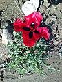 Poppy Bahar 4.jpg
