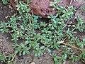 Portulaca oleracea3.JPG