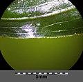 Potamogeton perfoliatus sl10.jpg
