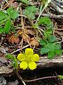 Potentilla canadensis - Dwarf Cinquefoil.jpg