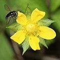 Potentilla indica (flower s9).jpg