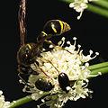 Potter Wasp (15025243739).jpg